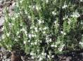 imagen Plantas Medicinales: Ajedrea