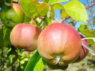 Frutales y plagas - Como cuidar los arboles frutales ...