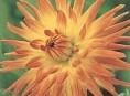 imagen Dalia cactus, flor de Invierno