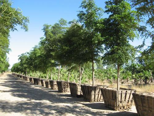 Consejos para comprar un rbol for Arbol perenne para jardin