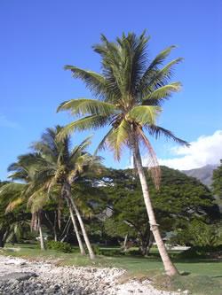 Las palmeras for Tipos de palmeras de exterior