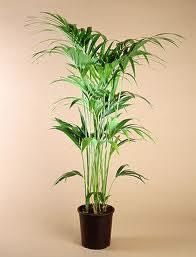 Las palmeras for Palmeras plantas de interior