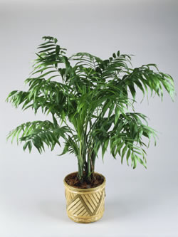 Las palmeras for Palmeras de interior