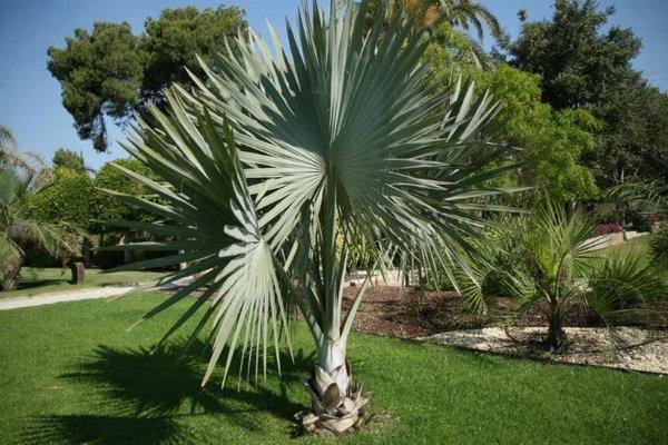 Claves para plantar palmeras