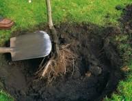 imagen Raíz desnuda, como plantar tu árbol
