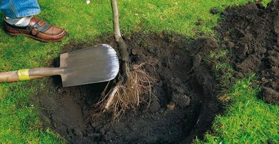 Ra z desnuda como plantar tu rbol for Arboles para plantar en invierno