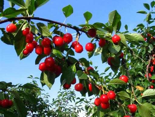 Frutales y plagas for Cuando se podan los arboles frutales