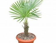 imagen Claves para plantar palmeras