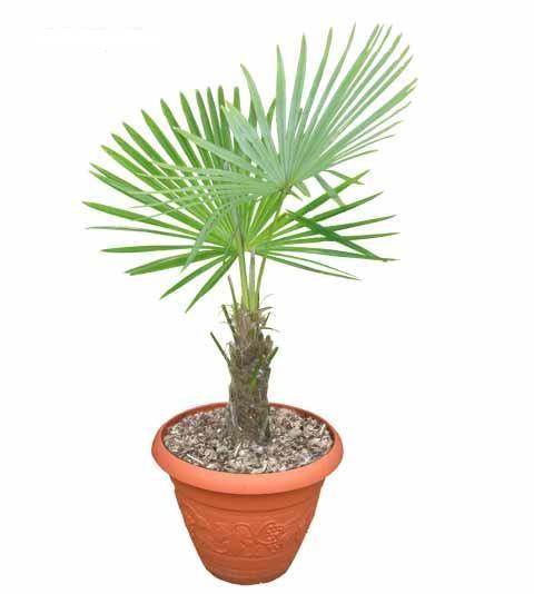 Claves para plantar palmeras - Palmeras pequenas para jardin ...