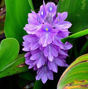 Plantas acu ticas - Jacinto planta cuidados ...