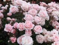 imagen Los rosales y sus tipos