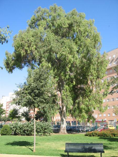 Eucalipto blanco for Arboles de hoja perenne que crece rapido