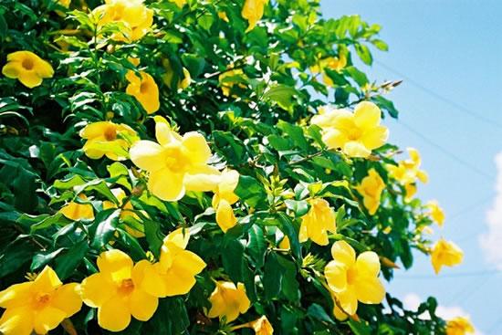 flores jardim perenes : flores jardim perenes:Puede llegar a florecer todo el año, pero especialmente de mediados
