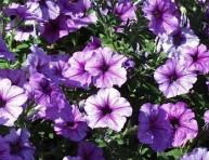 imagen Las petunias