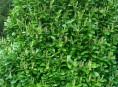 imagen El arbusto más aromático