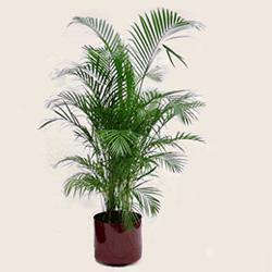 Palmera bamb for Palmeras de interior