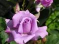 imagen Rosa híbrido de té