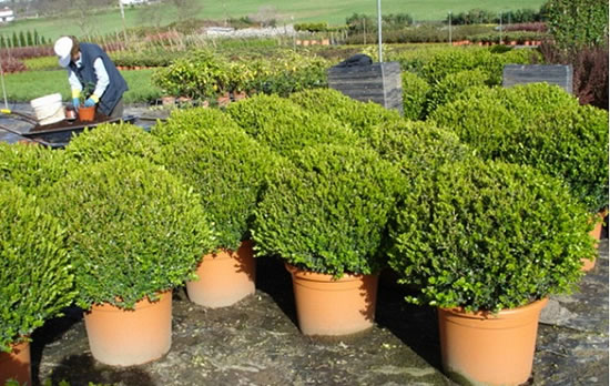 Arbustos imagui - Arbustos para jardin ...