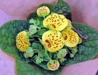 imagen Orquídeas: Zapato de Venus