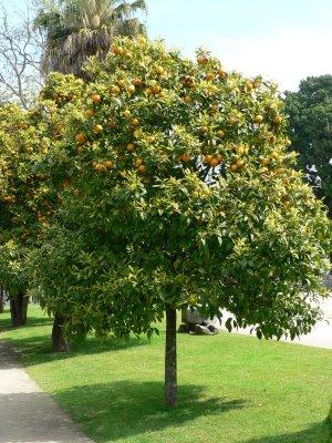 El naranjo amargo for Arboles para sombra de poca raiz
