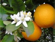 imagen El naranjo amargo
