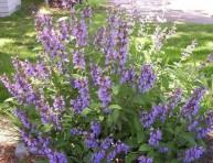 imagen Conoce a la Salvia