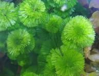 imagen Ambulia, planta acuática
