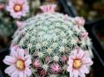 imagen Cactus Mamilaria