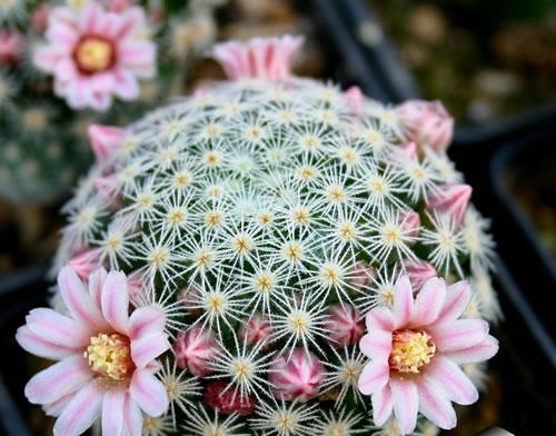 cactus enanos variedades cactus mamilaria gu a de jardiner a
