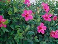 imagen Como cultivar el hibisco