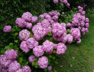 imagen Como cultivar la hortensia