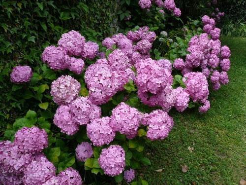 Jardim da terra como cultivar hort nsias - Como podar la hortensia ...