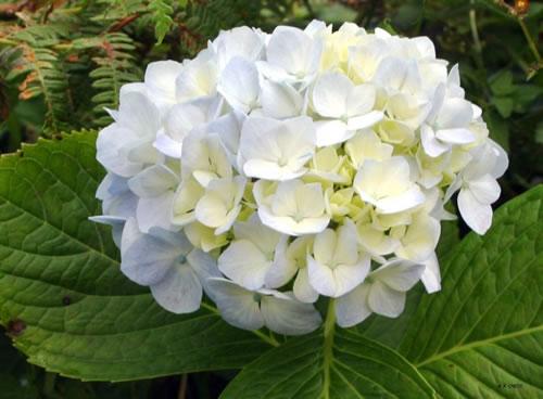 Como cultivar la hortensia for Hortensias cultivo y cuidados
