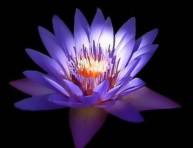 imagen Flor de loto