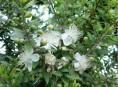 imagen Arbusto aromático: El Mirto