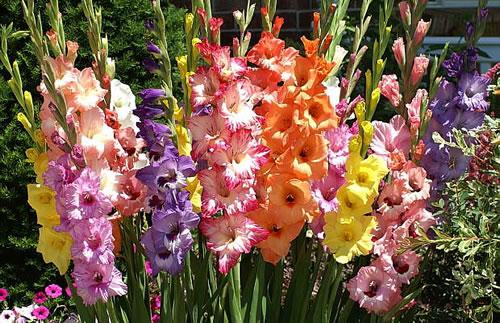 Las flores de mi jardin,tu jardin, vuestro jardin. Gladiolo1
