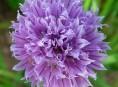 imagen Cultivar Alliums en nuestro jardín