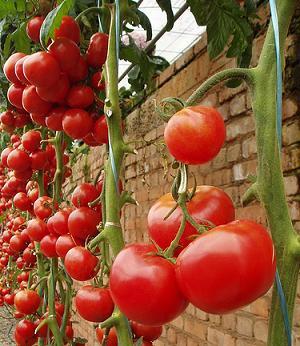 Como cultivar tomates taringa - Cuando plantar tomates ...