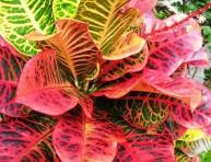 imagen Arbustos de interior: el Codiaeum