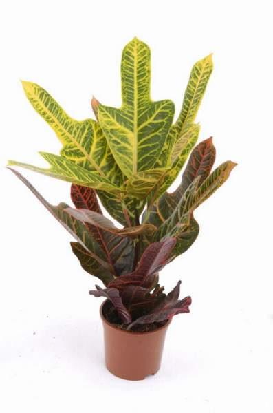 arbustos de interior el codiaeum