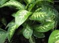 imagen Diffenbachia como planta de interior