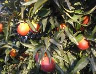 imagen El Sanguinelli: un naranjo diferente