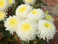 imagen El crisantemo