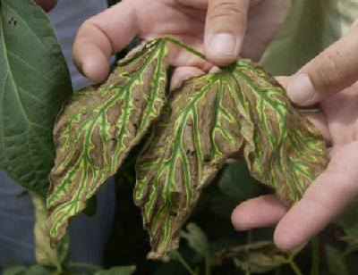enfermedad de una planta: