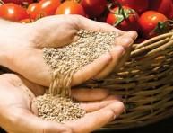 imagen Germinar semillas de tomate