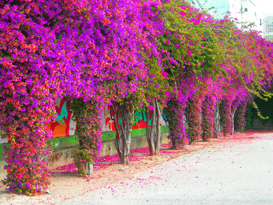 La buganvilla for Flores de jardin exterior