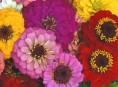 imagen Las zinnias y sus variedades