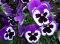 imagen Pensamientos, bellas violetas