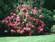 imagen Trasplantar un rododendro