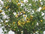 imagen Cuidados básicos para plantar un limonero